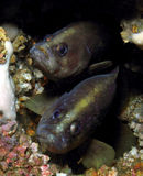 Soapfish jumeau Photo stock