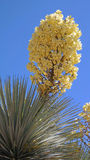 Soaptree Yucca Bloom Stock Images