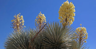 Soaptree Yucca - Blooming Stock Photography