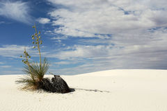 Soaptree Yucca and White Sands. Horizontal view of soaptree yucca plant on white sand dunes Royalty Free Stock Photos