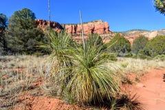 Soaptreeyucca in Sedona-Woestijn royalty-vrije stock afbeeldingen
