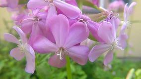 Soapwort comum, erva medicinal com flor video estoque