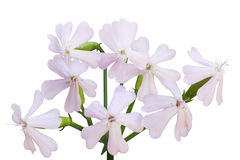 Soapwort Flower Royalty Free Stock Photos