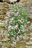 Soapwort ocymifolia Royalty Free Stock Photo