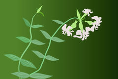 Soapwort (Saponaria) Stock Photo