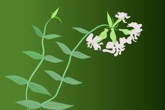 Soapwort (Saponaria) Stockfoto