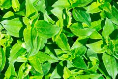 Soapwort (Saponaria officinalis) green leaves background Stock Photo