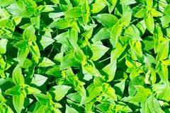 Soapwort (Saponaria officinalis) green leaves background Stock Photography