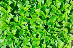 Soapwort (Saponaria officinalis) green leaves background Royalty Free Stock Photos