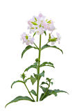 Soapwort wildflower Royalty Free Stock Photos