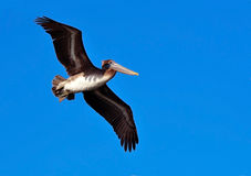 Soar Like a Pelican Royalty Free Stock Images