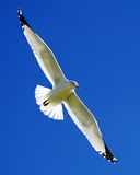 Soaring. Seagull Soaring in the Blue Sky Royalty Free Stock Images