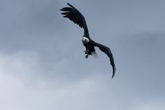 Soaring. Bald Eagle soaring in the blue sky Stock Photography