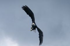 Soaring. Bald Eagle soaring in the blue sky Royalty Free Stock Image
