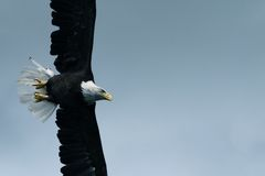 Soaring. Bald Eagle soaring in the blue sky Royalty Free Stock Photo