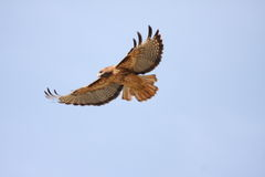 Soaring. Red-tail Hawk soars overhead Royalty Free Stock Image