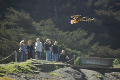 Soaring above the crowd. A hawk soars above a crowd Royalty Free Stock Photography