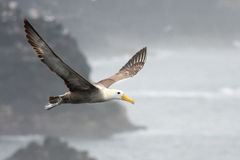 Soaring Albatross. Grande Galapagos Albatross soaring above the water Royalty Free Stock Images