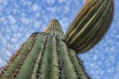 Free Soaring Arizona Saguaro Cactus Close Up Royalty Free Stock Photos - 146671118