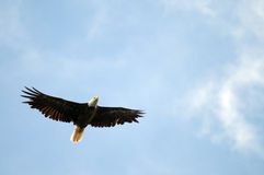Soaring Bald Eagle. Bald eagle soaring with copy space in the blue sky area Royalty Free Stock Images