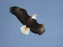 Soaring Bald Eagle. A Bald Eagle in flight with a blue sky background Royalty Free Stock Photos