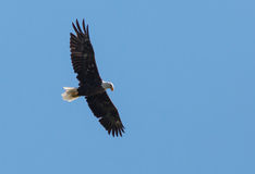 Soaring Bald Eagle Royalty Free Stock Image
