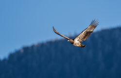 Soaring Bald Eagle near Harrison British Columbia Royalty Free Stock Photos