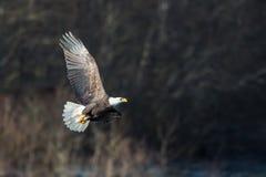 Soaring Bald Eagle near Squamish British Columbia Stock Photography