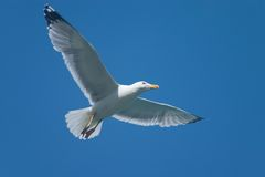 Free Soaring Bird Stock Photo - 2268900