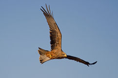 Soaring bird of pray. (hawk) against blue sky Royalty Free Stock Images