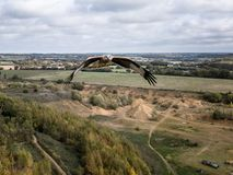 Soaring Bird of Prey. A common Buzzard in the UK starts high above a disused gravel pit in under moody skies royalty free stock images