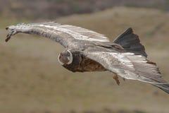 Soaring Condor. Eye Level Perspective of Soaring Andean Condor royalty free stock photos