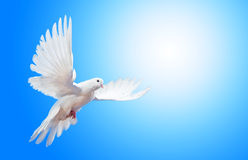 Soaring dove. White dove soaring against blue sky stock photo