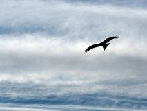 Eagle in the sky. Eagle soaring in the sky among clouds Stock Image