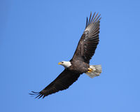 Soaring eagle. Majestic adult bald eagle soaring against blue sky stock photography