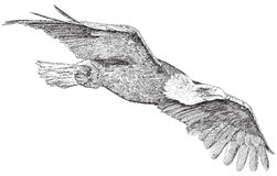 Soaring eagle - sketch Royalty Free Stock Photos