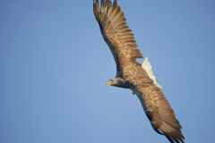 Soaring Eagle Royalty Free Stock Photo