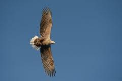 soaring för örn Arkivfoto