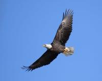 soaring för örn arkivbild