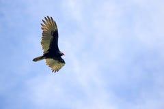 soaring för fågel Arkivbilder