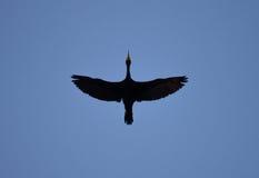 soaring för fågel Royaltyfria Bilder