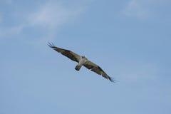 soaring för fiskgjuse Arkivfoton