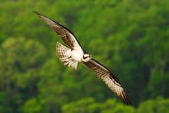 soaring för fiskgjuse Arkivfoto