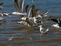 soaring för fiskmåsar Royaltyfria Foton