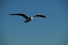 soaring för fiskmåssilver fotografering för bildbyråer