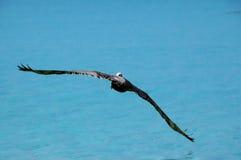 soaring för pelikan Arkivbild