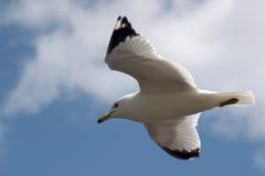 soaring för seagull Royaltyfria Bilder