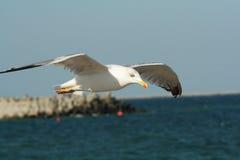 soaring för seagull Arkivbilder