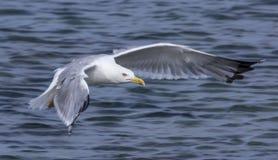 soaring för seagull Arkivfoto
