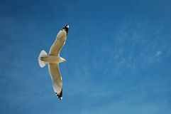 soaring för seagull Royaltyfri Bild